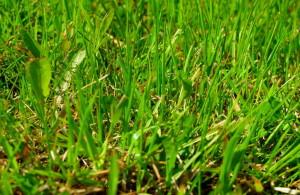 Газон из живой травы